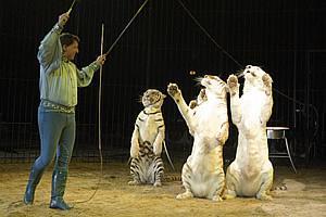 Flavio Togni con le sue tigri