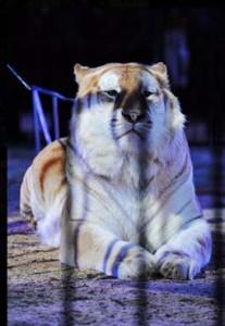 tigre-monte-carlo