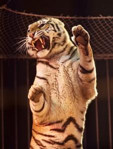 tigre-redy-montico