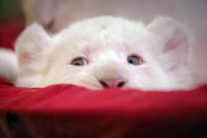 Una delle fotografie del leoncino bianco pubblicate dall'Ansa