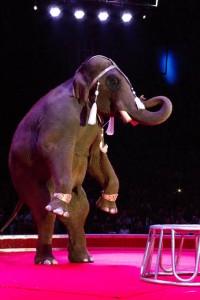 Big Boy, l'enorme elefante africano presentato da Walter Fuentes Gasca