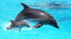 Alfa e il piccolo Lapo quando nuotavano felici nel delfinario di Rimini