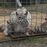 cuccioli-tigre-bianca