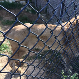 Così si presenta oggi al Centro Semproniano il leone sequestrato nel 2012 al circo di Aldo Martini