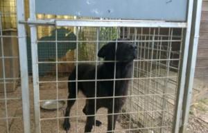 Nella foto del Messaggero Veneto il cane che a Pordenone ha azzannato e ucciso una bambina